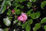 今年の花Astronomia001