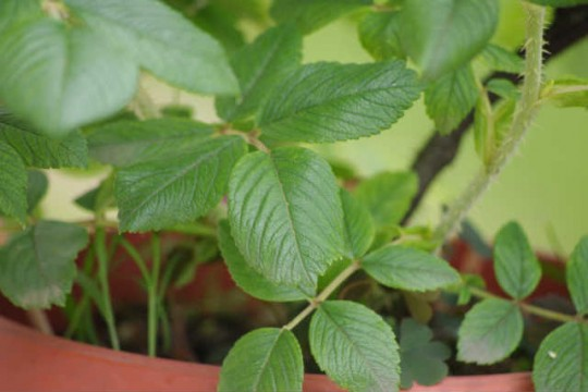 スカブローサの葉